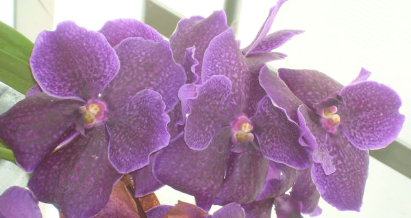 orchid_six